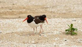 American Oystercatchers with Eggs Stock Photos