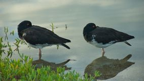 American Oystercatchers in Galapagos Islands Royalty Free Stock Photos