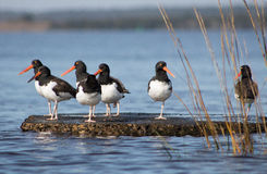 American Oystercatchers Royalty Free Stock Photography