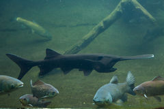 American paddlefish (Polyodon spathula). Stock Photos