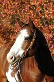 American Paint Horse. Americn Paint horse in western bridle in front of autumn leaves royalty free stock photography