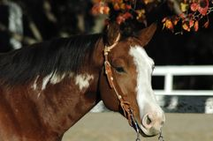 American Paint Horse. Americn Paint horse in western bridle in front of autumn leaves stock photography
