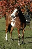 American Paint Horse. Americn Paint horse in western bridle in front of autumn leaves Stock Photos