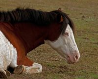 American Paint Horse with blue eyes lying and resting. On a meadow in southern Sweden royalty free stock photos