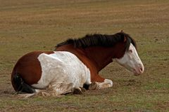 American Paint Horse with blue eyes lying and resting. On a meadow in southern Sweden stock image