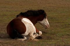 American Paint Horse with blue eyes lying and resting. On a meadow in southern Sweden royalty free stock photo