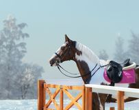American Paint horse with bridle and english saddle in winter. Stock Image