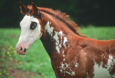 American paint horse colt. Paint horse weanling colt showing his blue eye Stock Photo