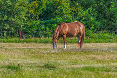 American Paint Horse Stock Photography