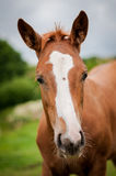 American Paint Horse. Picture of sorrel paint horse foal stock image