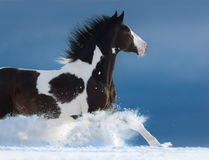 American Paint horse run gallop in winter Royalty Free Stock Images