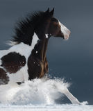 American Paint horse running gallop across a winter snowy field. Side view. Close up Stock Image