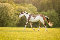 Free American Paint Horse Running On The Green Meadow Royalty Free Stock Photos - 146220898