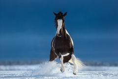 American Paint horse on snowfield. Front view. Stock Photo
