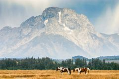 American paint horses in front of Mount Moran in Wyoming. stock photography
