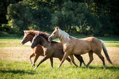 Free American Paint Horses Running Royalty Free Stock Image - 146212606