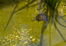 American Painted Box Turtle. Swimming in shallow pond Stock Photos