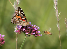 American Painted Lady Stock Photo