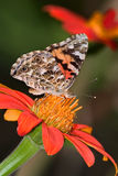 American Painted Lady Stock Image