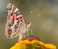 American Painted Lady butterfly Stock Images
