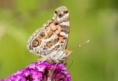 American Painted Lady butterfly Stock Photography