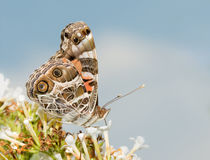 American Painted Lady butterfly feeding on a white butterflybush Royalty Free Stock Photography