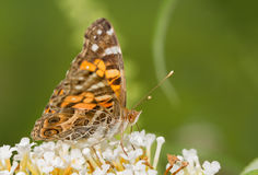 American Painted Lady butterfly Royalty Free Stock Photos