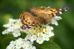 American Painted Lady stock photos