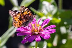 American Painted Lady Butterfly on an Pink Flower. American Painted Lady Butterfly resting on a pink flower like a dahlia or zinnia Royalty Free Stock Images