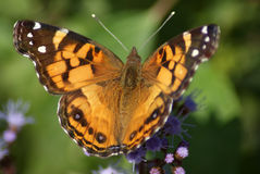 American Painted Lady Stock Photography
