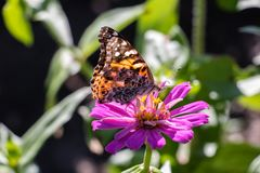 American Painted Lady Butterfly on an Pink Flower. American Painted Lady Butterfly resting on a pink flower like a dahlia or zinnia Royalty Free Stock Photo