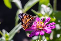 American Painted Lady Butterfly on an Pink Flower. American Painted Lady Butterfly resting on a pink flower like a dahlia or zinnia Stock Photography
