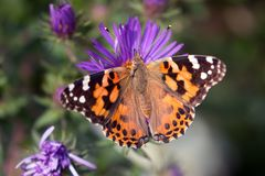 American Painted Lady butterfly Vanessa virginiensis. Close up with open wings of a colorful orange black and white butterfly feeding on native purple  North Stock Photos