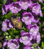 American Painted Lady butterly Royalty Free Stock Photos
