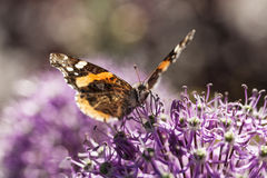 American Painted Lady butterly Stock Images