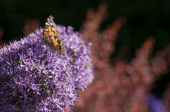 American Painted Lady butterly Stock Photos