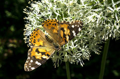 American Painted Lady butterly Royalty Free Stock Photo