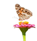 American Painted Lady feeding on a pink flower. On white background Royalty Free Stock Photos