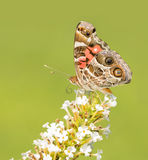 American Painted Lady on a white Buddleia flower cluster Stock Photography