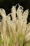 American pampas grass Royalty Free Stock Photo