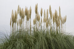 American pampas grass Stock Image