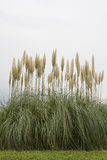 American pampas grass Royalty Free Stock Images
