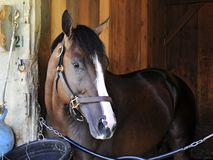 American Patriot - Horse Haven Saratoga. American Patriot, a multiple stakes winning colt on the turf, shown here inside his stall at historic Horse Haven stock image