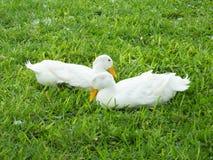 American Pekin Duck  (Anas platyrhynchos domestica). American Pekin Ducks resting in the grass Stock Photo