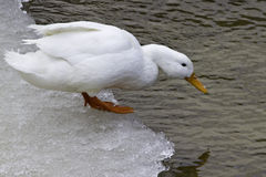 American Pekin Duck (anas platyrhynchos domestica). One white American Pekin Duck standing on the edge of the ice on the river and looking down, just before Royalty Free Stock Images