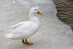 American Pekin Duck (anas platyrhynchos domestica) Royalty Free Stock Photography