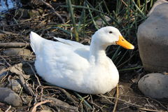 American Pekin duck Royalty Free Stock Images