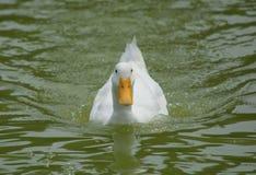 American Pekin Duck. An American Pekin Duck swimming Royalty Free Stock Photos