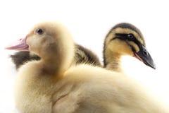 American Pekin Duckling Stock Photos