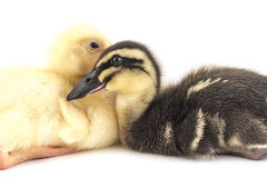 American Pekin Duckling. And  in studio shot photo. This yellow duckling is domesticated for egg production Royalty Free Stock Images